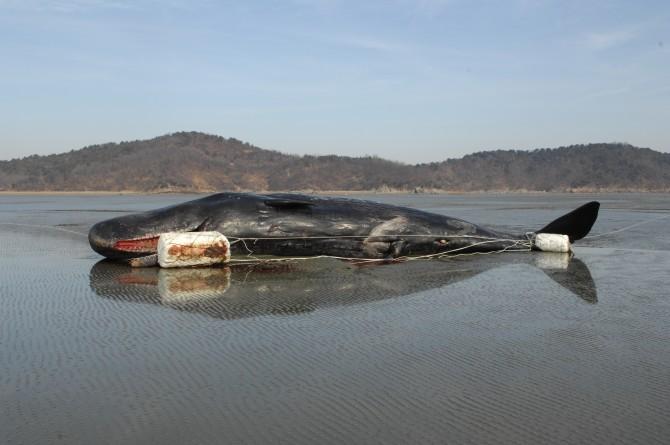 2009년 1월 인천 강화군에서 발견된 향고래 사체. - 국립수산과학원 제공